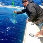 Capt. Zach leadering a white marlin on day one of (Capt. Zach leadering a white marlin on day one of the WMO. Ate a green Hook'em …)